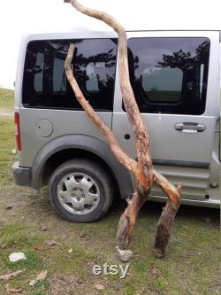 Racine de pin croisée
